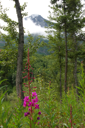 Fireweed at king mt