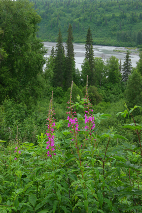 Fireweed above river overlook